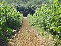 Camino entre viñas - panoramio.jpg