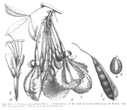 Camoensia scandens Taub102a.png