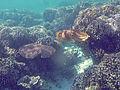 Camouflage cuttlefish 01.jpg