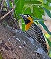 Campo Flicker (Colaptes campestris) male (30938518864).jpg
