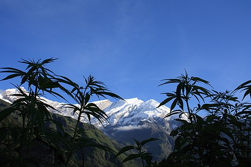 Cannabis plants in front of the Dhaulagiri summit