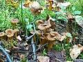 Cantharellus tubaeformis Suppilovahveroita IX04 4105 C.JPG