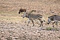 Cape Mountain Zebras (Equus zebra zebra) (33049458815).jpg