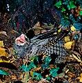 Caprimulgus europaeus - Mior Rino 001.jpg