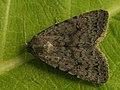 Caradrina petraea - Наземная совка каменная (41075500862).jpg