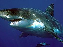 O tubar�o-branco vive sobre as zonas de plataforma continental, perto das costas, onde a �gua � menos profunda.