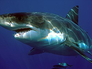 English: Great white shark (Carcharodon carcha...
