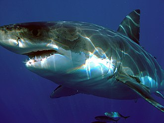 Great white shark - Great white shark off Guadalupe Island, Mexico