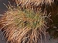 Carex acutiformis plant (04).jpg