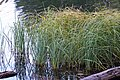 Carex aquatilis plant (04).jpg
