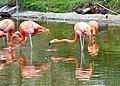 Caribbean Flamingos at Blackpool Zoo (geograph 2960535).jpg