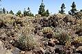 Carlina xeranthemoides kz01.jpg