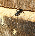 Carpenter ant worker NFUW.jpg
