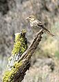Cassins finch female 3 wray (7189928605).jpg