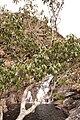 Cassipourea malosana at Digby's Falls, Chimanimani, Zimbabwe 2.jpg