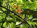 Castanospermum australe-1-cubbon park-bangalore-India.jpg