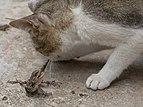 Cat biting the tail of a lizard.jpg