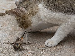 Cat biting the tail of a lizard.jpg