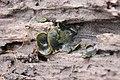 Catinella olivacea 55573941.jpg