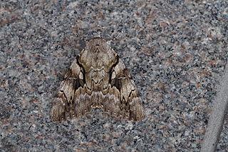 <i>Catocala lara</i> species of moth