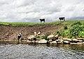Cattle Opposite Saxon's Lode - geograph.org.uk - 1349358.jpg