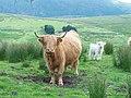 "Cattle along ""The Struggle"" - panoramio.jpg"