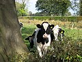 Cattle at Prees in Shropshire, England.jpg