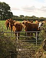 Cattle near Westwood - geograph.org.uk - 1552281.jpg