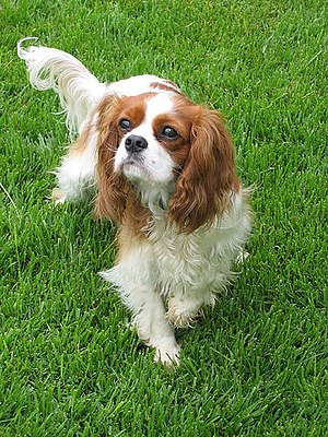 Pedigree Dogs Exposed - The Cavalier King Charles Spaniel can suffer from mitral valve disease and syringomyelia