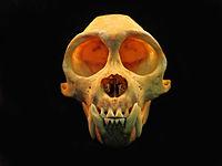 Cebus skull front view 2.JPG