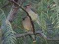 Cedar waxwing (24862847220).jpg