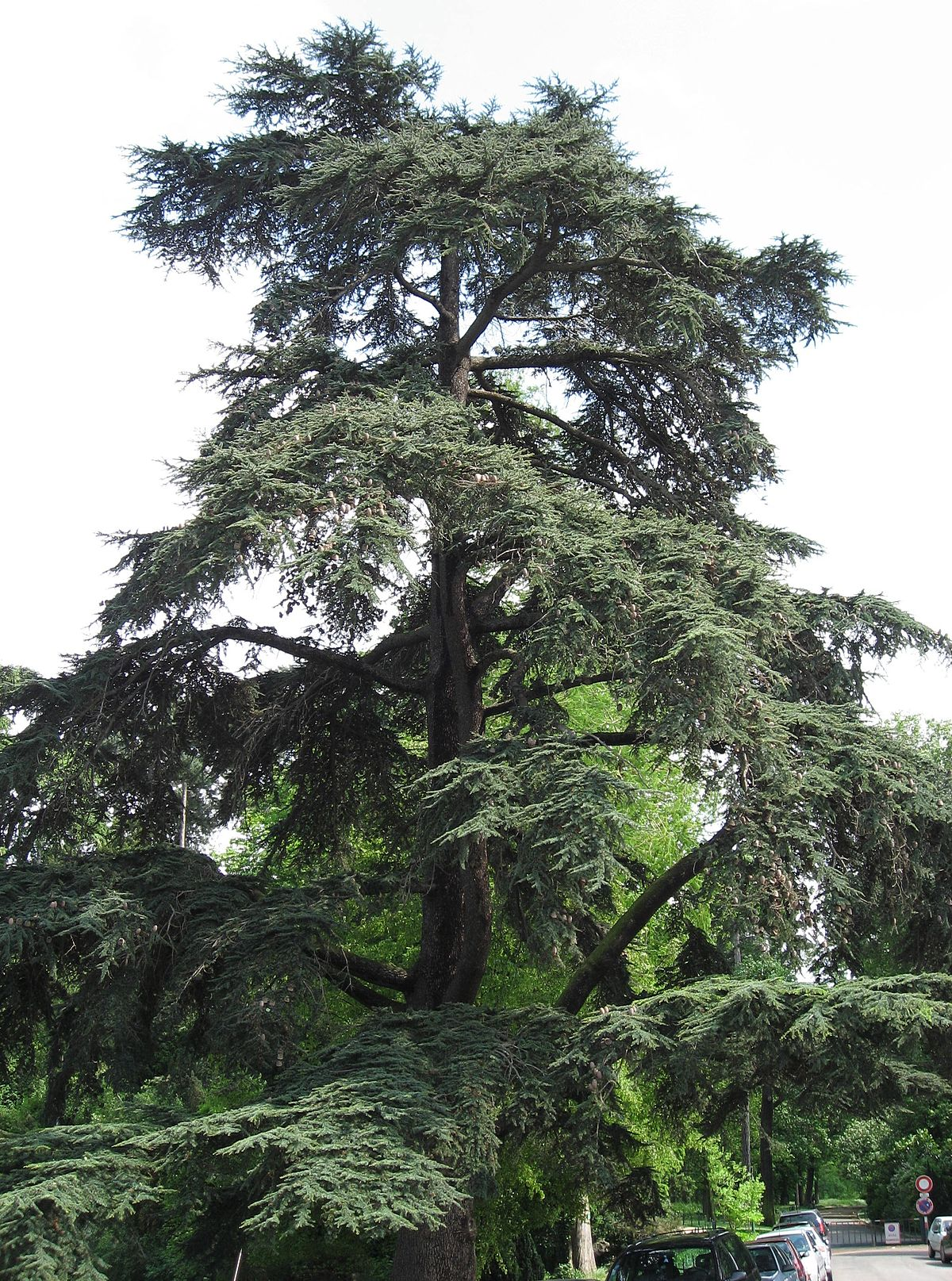 C dre du liban wiktionnaire - Cedre bleu du liban ...
