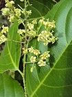 Celastrus paniculatus - Black Oil Plant flowers at Periya 2014 (11).jpg