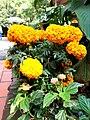 Cempasúchil Naranja.jpg