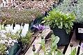 Centaurea montana 11zz.jpg