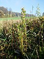 Centaurium erythraea (subsp. erythraea) sl23.jpg