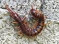 Centipede in guadeloupe.jpg