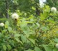 Cephalanthus occidentalis BotGardBln07122011D.jpg