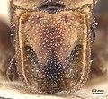 Cephalotes klugi H casent0904918.jpg