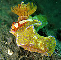 Ceratosoma tenue with Emperor Shrimp002.jpg