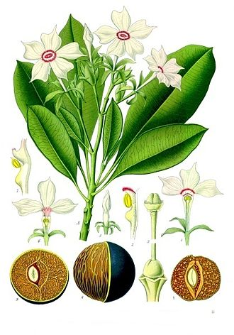 Cerbera odollam - Leaves, flowers and seeds of C. odollam From Koehler's Medicinal-Plants 1887