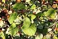 Cercidiphyllum japonicum JPG1Fua.jpg