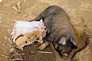 Cerdos (1240780693) Quesada, Alajuela, Costa Rica.jpg