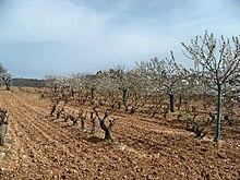Cerisiers et vigne.JPG