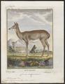 Cervus virginianus - 1700-1880 - Print - Iconographia Zoologica - Special Collections University of Amsterdam - UBA01 IZ21500039.tif