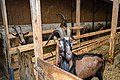 Chèvres ferme du Menez-Hom 04.jpg