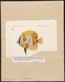 Chaetodon chrysozonus - 1700-1880 - Print - Iconographia Zoologica - Special Collections University of Amsterdam - UBA01 IZ13100183.tif