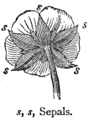 Chambers 1908 Sepals.png