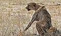 Cheetah (Acinonyx jubatus) male (6516896937).jpg