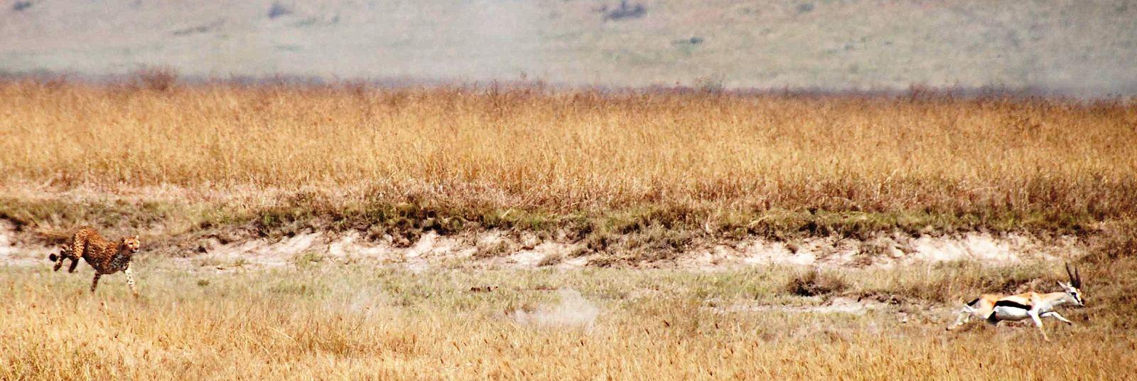 cheetah wikiwand